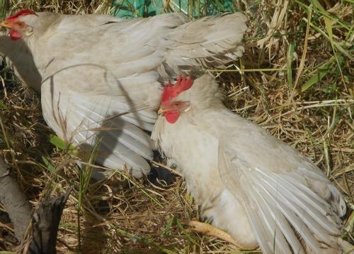 sun-bathing chickens